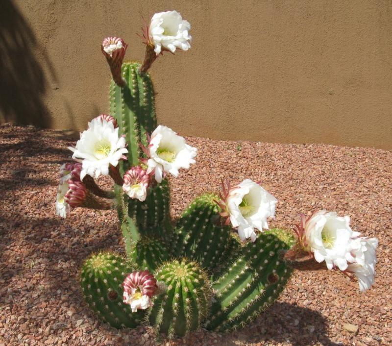 Cactus blooming in mesquite nv cactus pinterest cacti spring cactus blooming in mesquite nv mightylinksfo