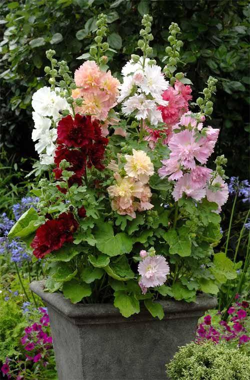 alcea rosea 39 spring celebrities m lange 39 container gardens pinterest garten blumen und. Black Bedroom Furniture Sets. Home Design Ideas