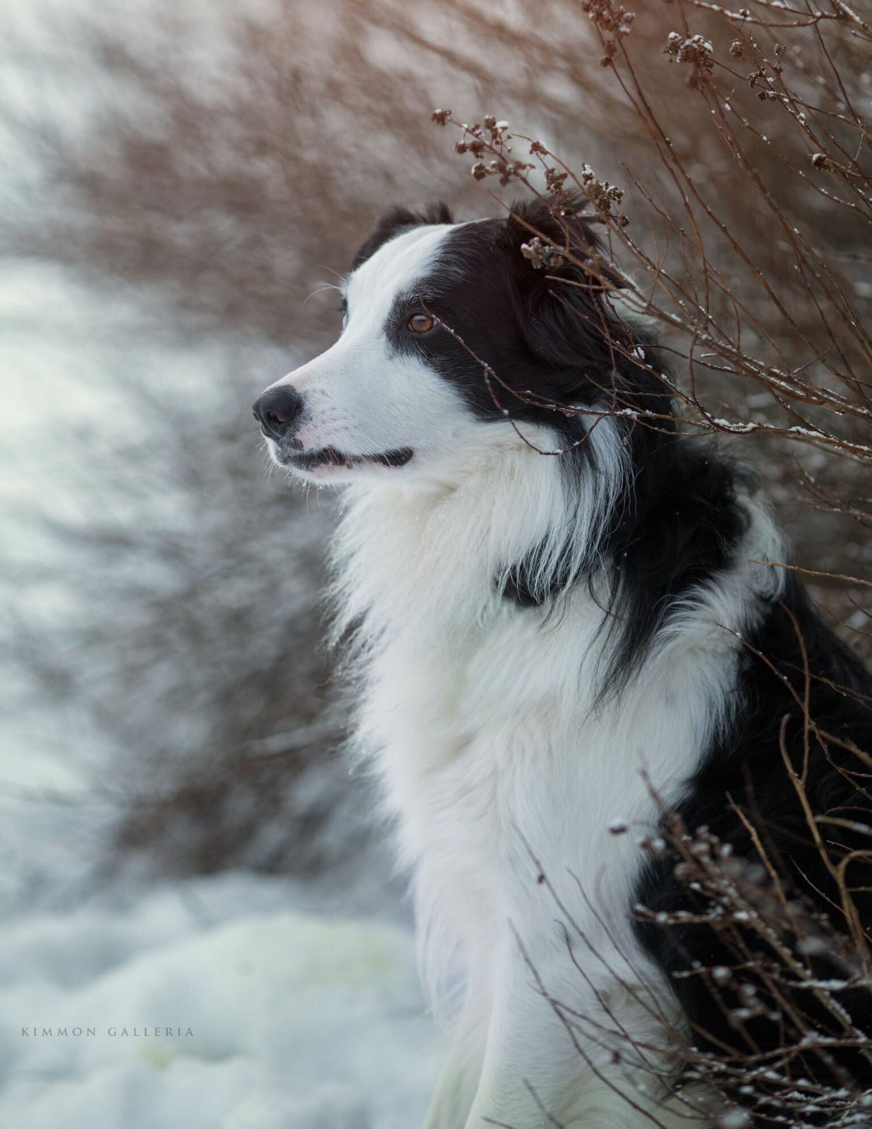 Bordercollie Collie Dog Dogs Collie
