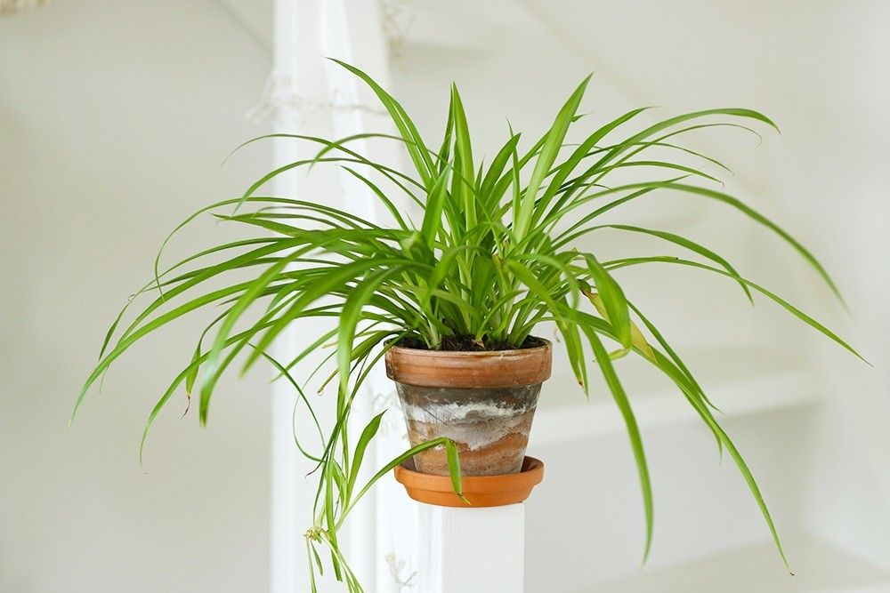 Plante araignée   Plante, Fleurs intérieur, Suspension plante