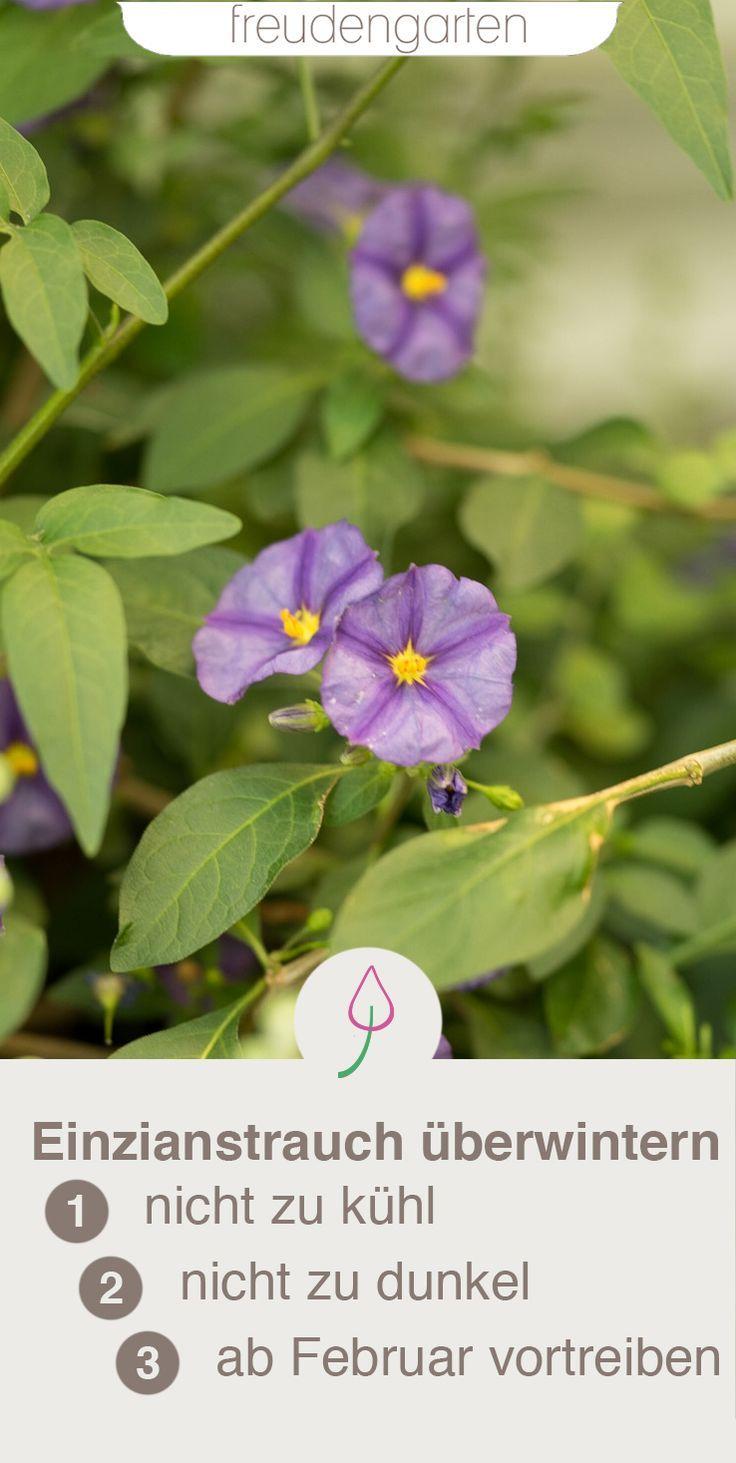 enzianstrauch berwintern pflanzen k belpflanzen und enzian