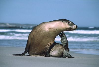 "Australian Sea Lion -What's the difference between a seal and a sea lion? Good explanation from   ""How Stuff Works"""