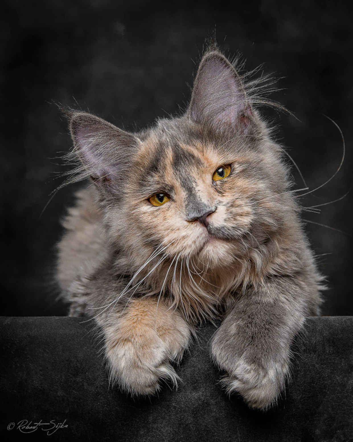 'Tit chat, ainsi posées, ces taches grises te font une bouille si triste ! / Chat. / Cat. / Photo by Robert Sijka.
