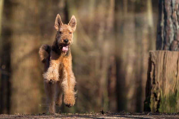 Lebensfreude From Fotocommunity Com Irischer Terrier Welsh Terrier Lakeland Terrier