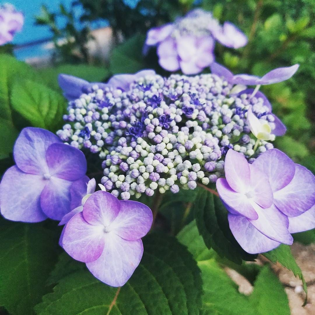 Mophead Hydrangea Wont Bloom: Mophead Blooms Aren't The Only Hydrangea Blooms Out There