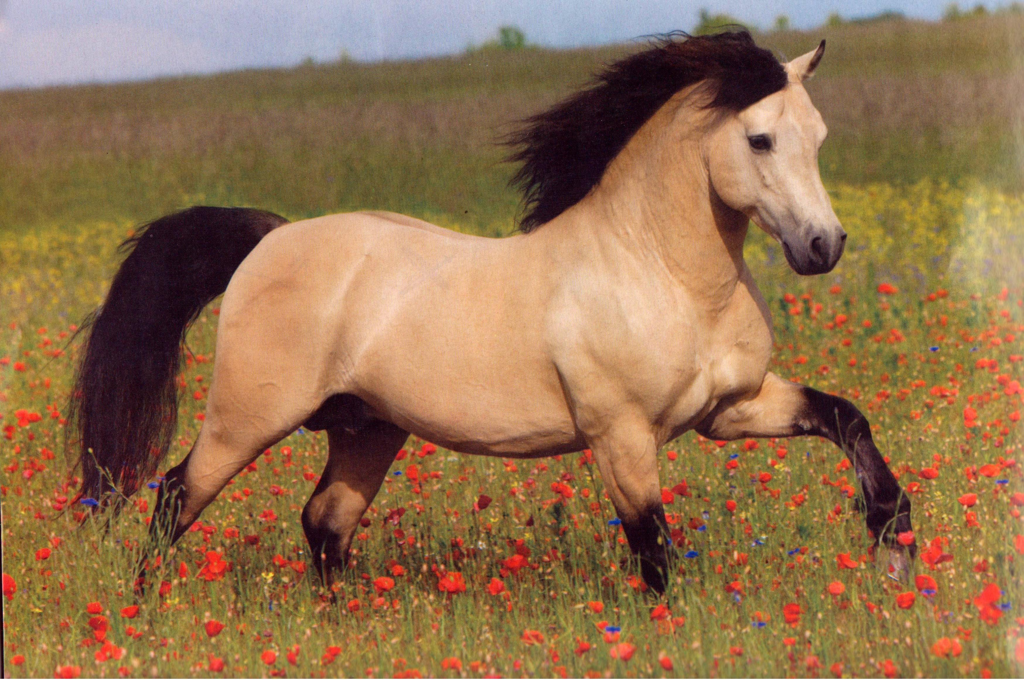 Beautiful Bold Brave And Brilliant Buckskins Buckskin Horse Horse Wallpaper Horses