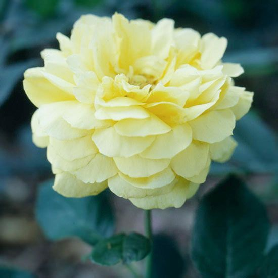 Rose Care Q&A Growing beautiful roses doesn't have to be daunting.