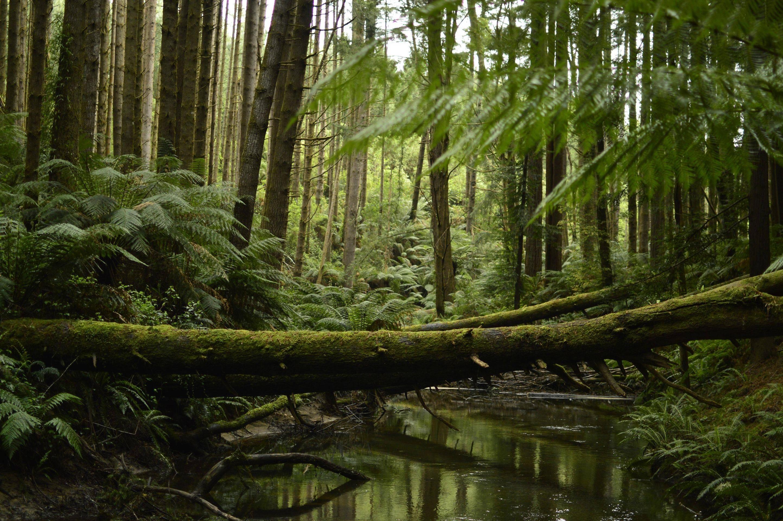 Californian Redwood Forest Near Melbourne Aus 1600x1065 Oc Imgur Beautiful World