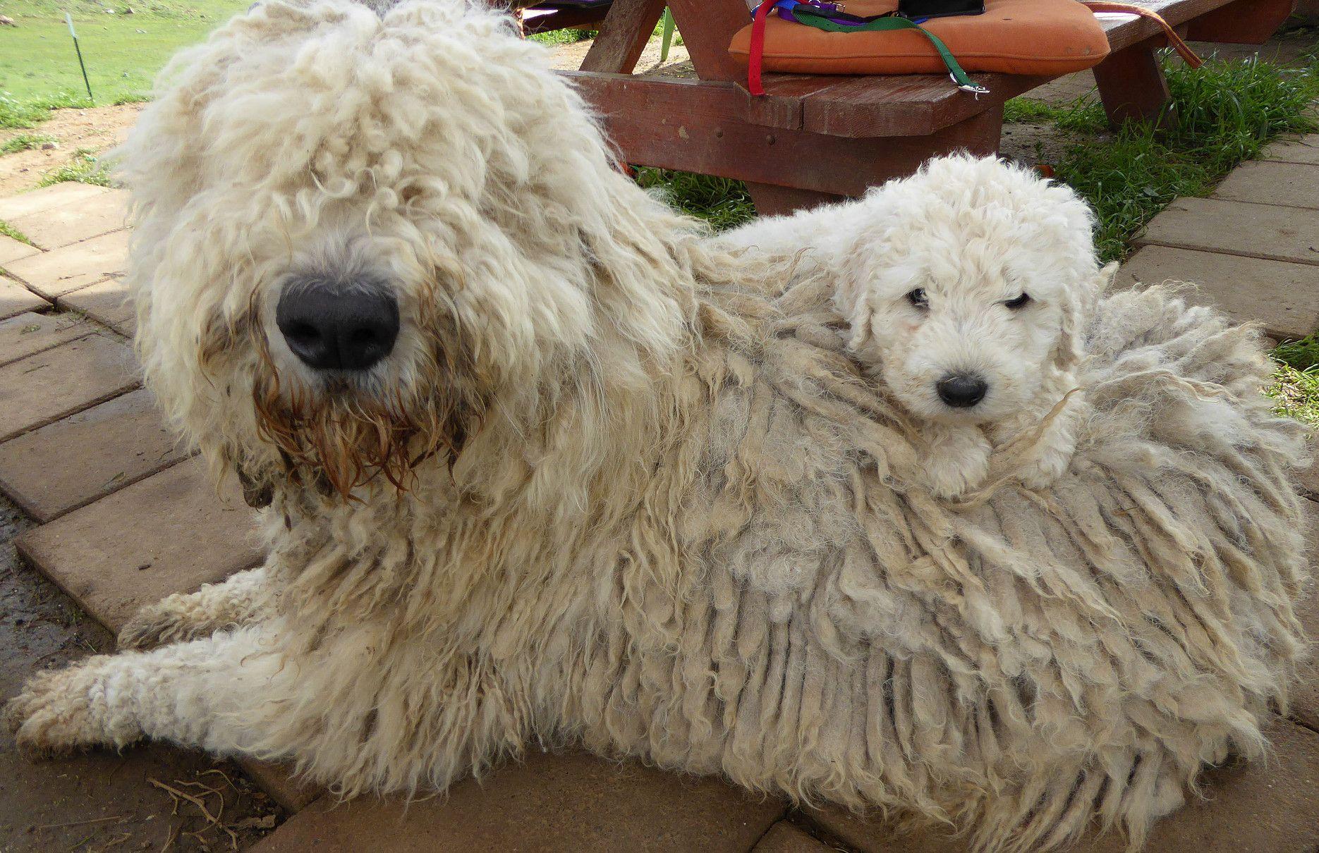 Komondor Puppies For Sale Komondor Komondor Dogs Puppies
