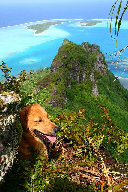 Mountain Climbing Dog Enjoying the view over Maupiti Lagoon