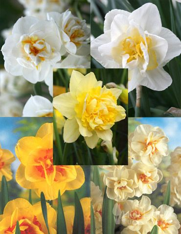 Double Daffodil Collection with 25
