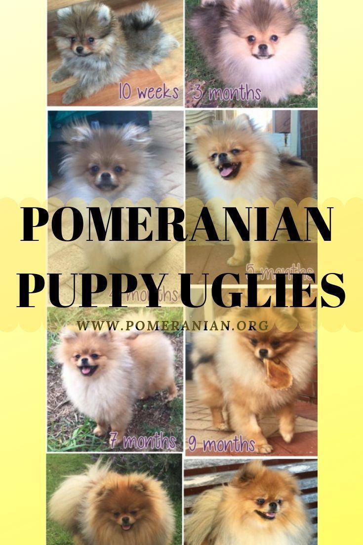 Pomeranian Puppy Uglies Pomeranian puppy, Puppies