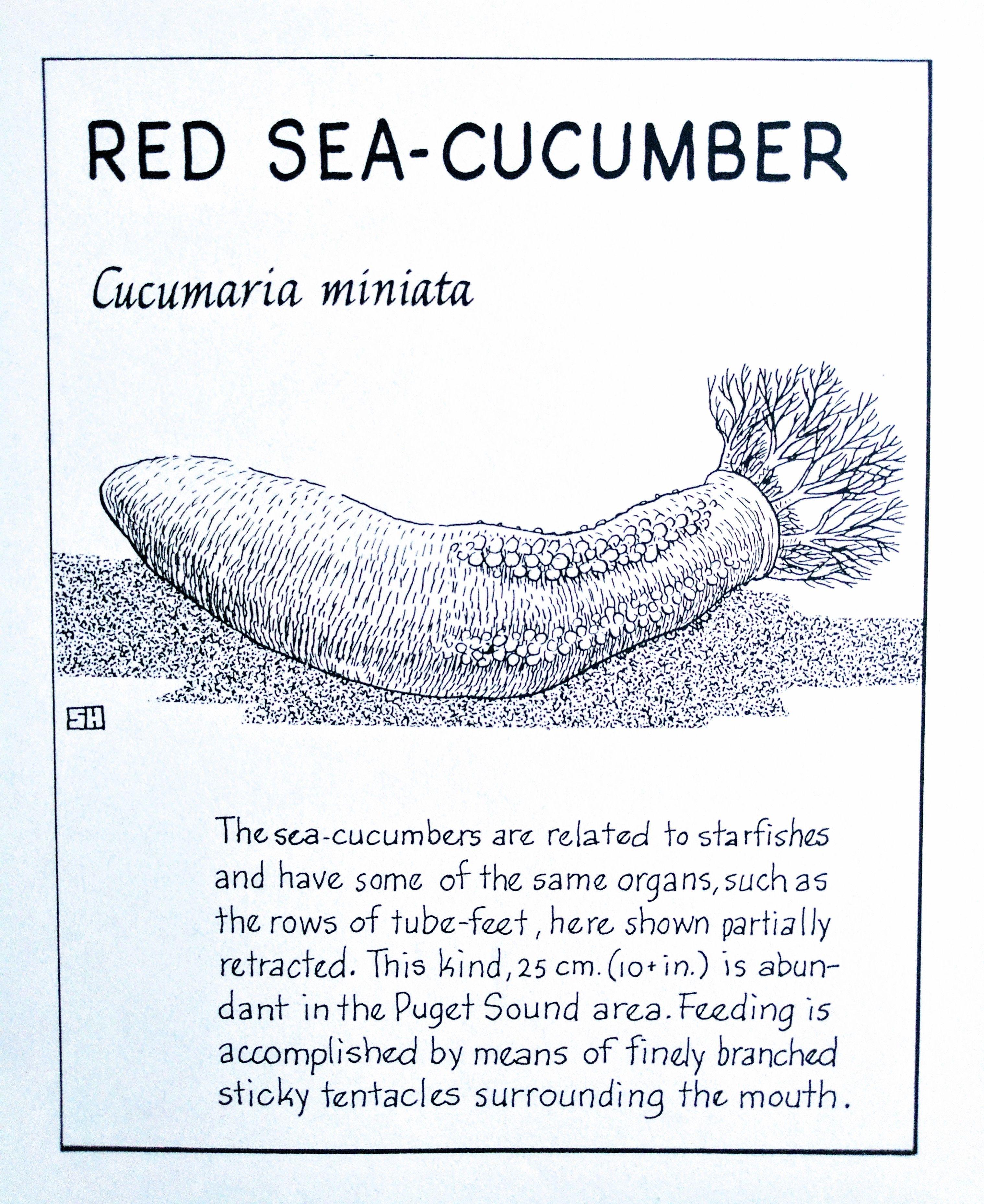 Red Sea-Cucumber (Cucumaria miniata) | The Ocean World by Sam Hinton ...