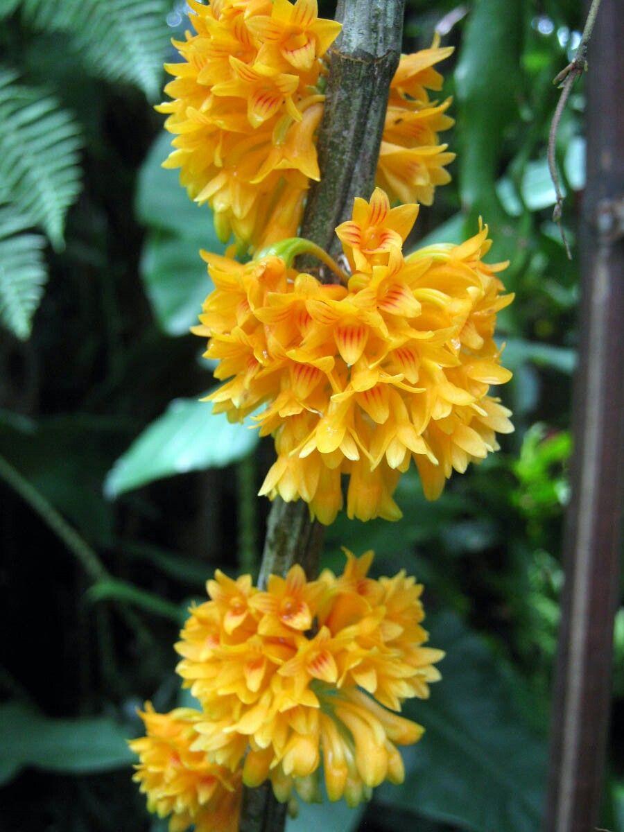 COELANDRIA Es un género de orquídeas originarias de Malasia y Australia posiblemente formado por cinco especies epífitas, ocasionalmente litófitas, cuyas inflorescencias se asemejan a un cepillo circular lleno de flores pequeñas pero muy vistosas. Son muy aprecidas por los coleccionistas y razonablemente comunes en su cultivo. Fueron clasificadas en el género Dendrobium hasta el año 2003.
