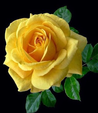 Yellow Rose Pretty Flowers Beautiful Flowers Yellow Roses