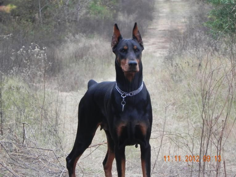 Doberman Ear Cropping Styles Pictures