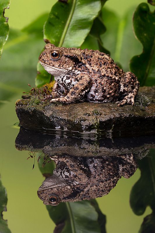 Pacman Frog Eating A Mouse Random Awesome Cuteness Pinterest