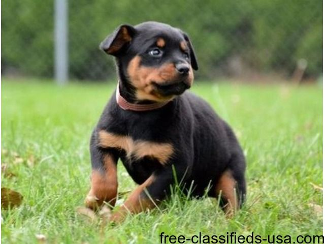 Listing German Male And Female Rottweiler Puppie Is Published On