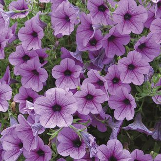 Petunia Surfinia Rose Vein Plants 8 95 From Mr Fothergills Seeds