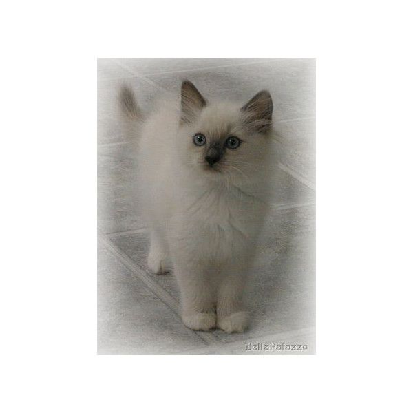 Ragdoll Cats And Kittens From Bellapalazzo Ragdolls In Connecticut Liked On Polyvore Featuring Home Home Decor Cat And Cat Hom My Polyvore Finds Cats