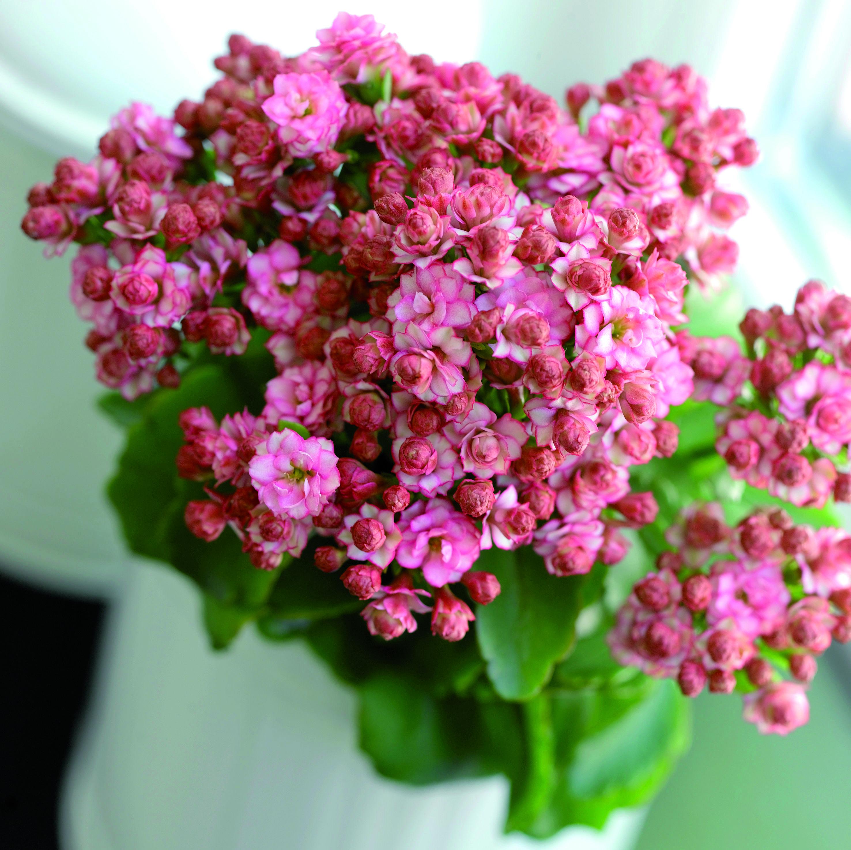 Romantica e delicata, la kalanchoe in questa tonalità di rosa sfumato