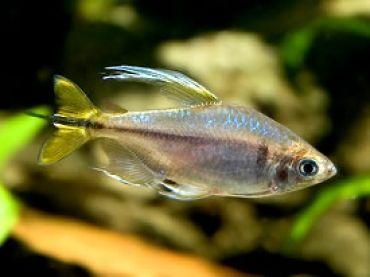Yellow Tail Congo Tetra | Tropical Fishes | Tropical ... Yellow Tetra Fish