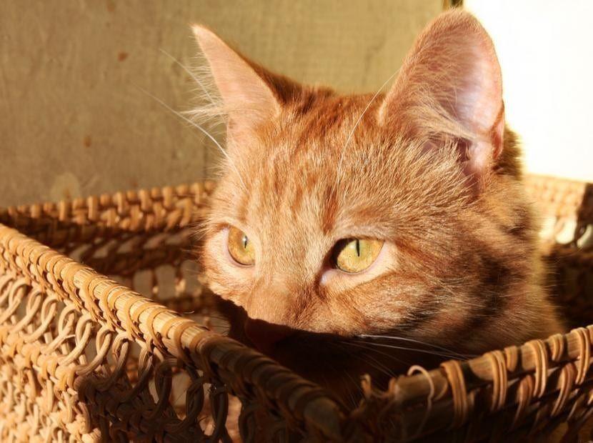 El Gato Atigrado Naranja Carácter Características Precio Y Más Gatos Anaranjados Gatos Atigrados Gatos Bonitos
