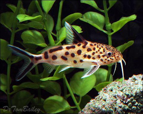 Synodontis For Sale Aquarium Fish Aquarium Big Fish Tanks