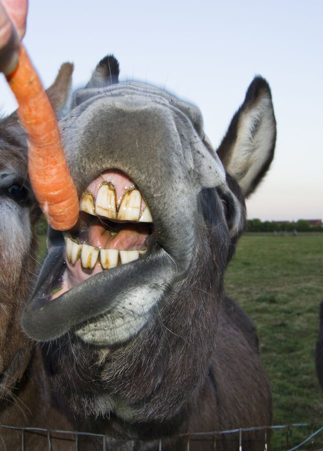 My, what ugly teeth you have   Ugly teeth! LOL!!   Donkey ...  My, what ugly t...