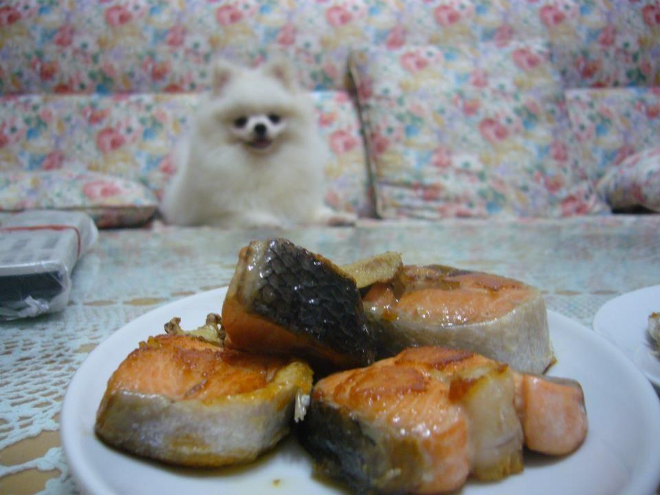 pomeranian wants to eat salmon