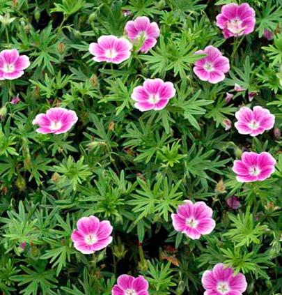 g ranium sanguineum elke ou geranium sanguin elke vivace godet 8cm couvre sol couvre et jardins. Black Bedroom Furniture Sets. Home Design Ideas