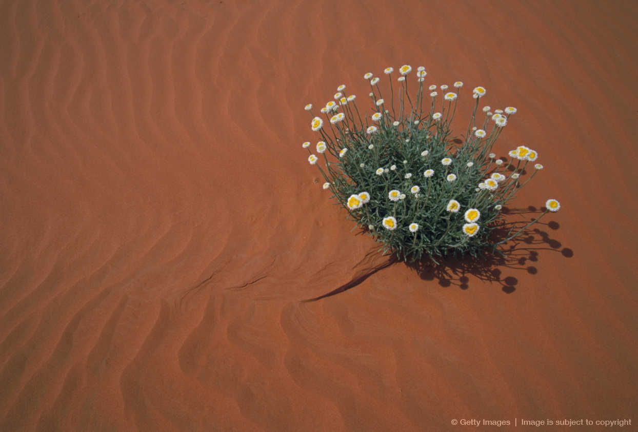 Image Detail For Daisy Plant And Sand Daisies Pinterest