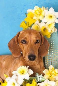 Spring Doxie Dachshund Dachshund Love Dogs