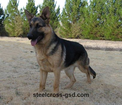 Black And Tan 7 Month Old Male German Shepherd Dogs Shepherd