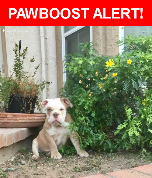 Please spread the word! Forrest Gump was last seen in El Paso, TX 79912.  Description: Tan, white face with green eyes Old English Bulldog  Nearest Address: 5849 Via Cuesta Drive, El Paso, TX, United States