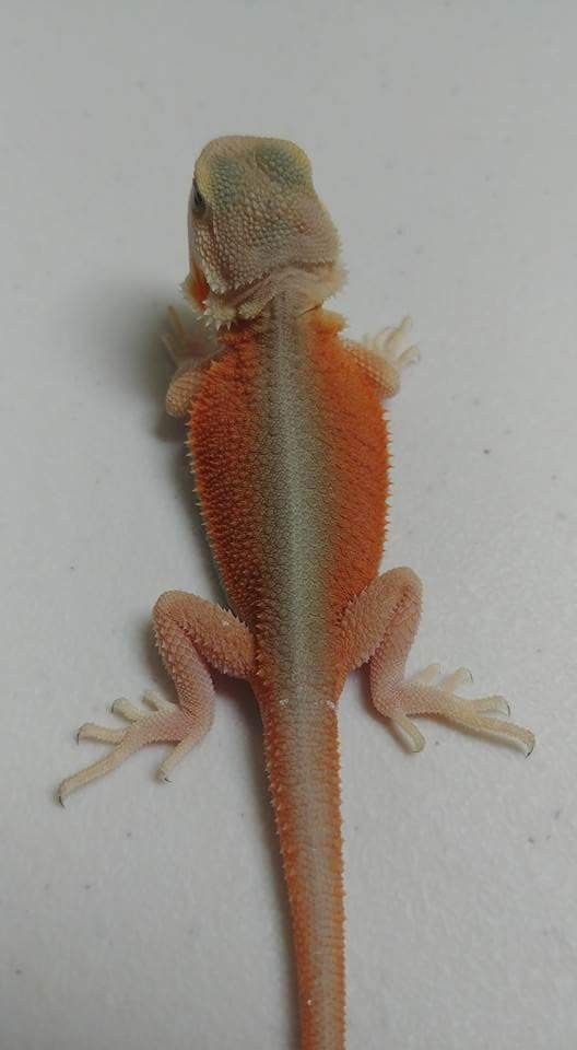 High color translucent witblits dragon | bearded dragon morph
