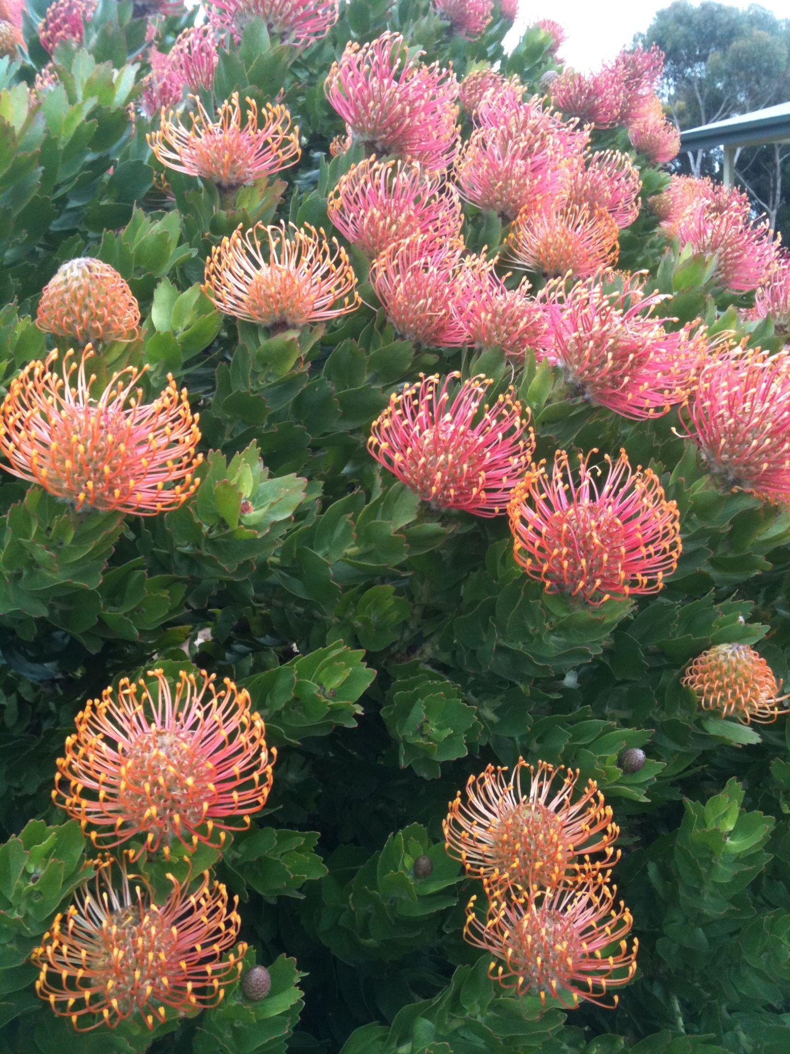 Protea Australia Australian Flowers Plants Australian Plants