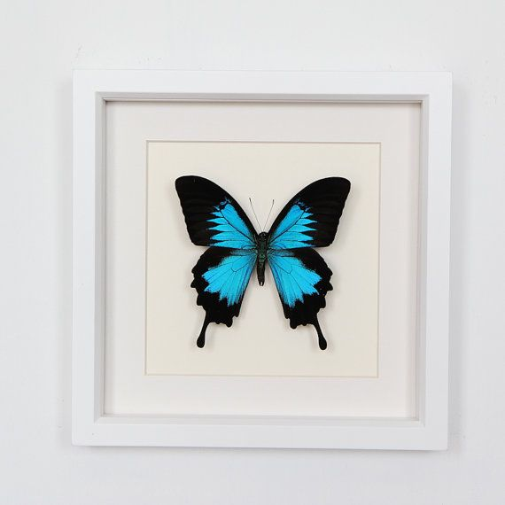 Real Framed Butterfly Papilio ulysses in museum by BugUnderGlass