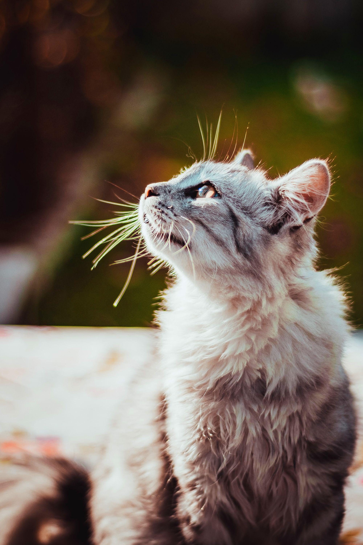 Maplebayexotics Com Grey Tabby Kittens American Shorthair Kitten American Shorthair Cat