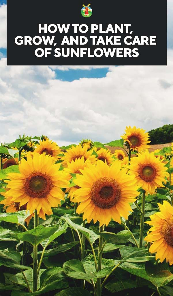 Growing Sunflowers Varieties Planting Guide Care Problems And Harvest Sunflower Seedlings Growing Sunflowers Planting Sunflowers