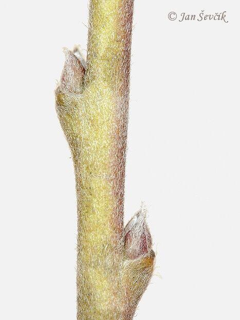 fabaceae caragana pygmaea - Google Search