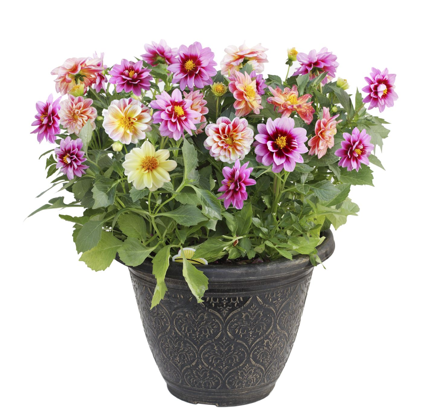 Can Dahlias Be Grown In Containers Learn How To Grow Dahlias In Containers Growing Dahlias Planting Dahlias Container Flowers