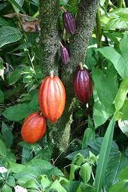 Risultati immagini per cacao pianta