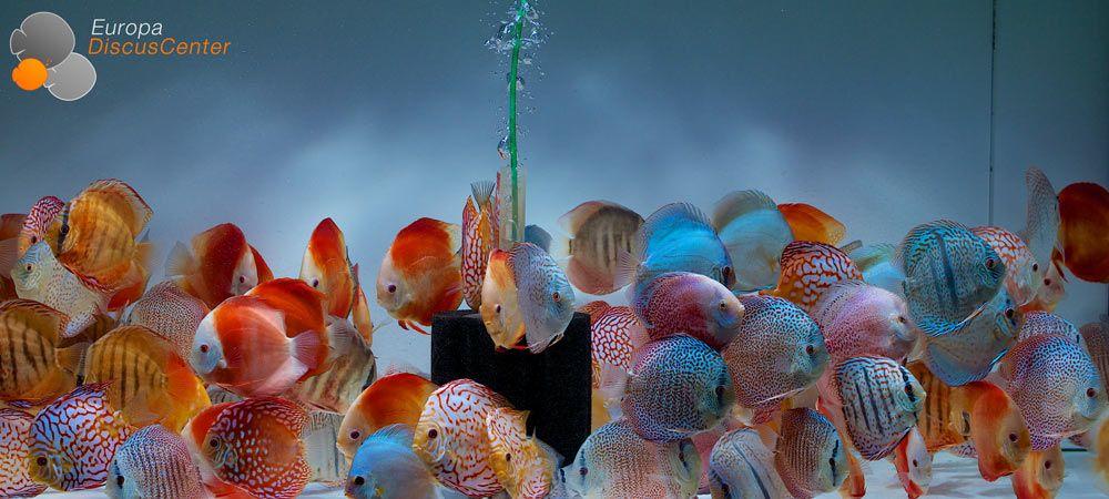 Diskusfische EuropaDiscusCenter Fische, Bilder