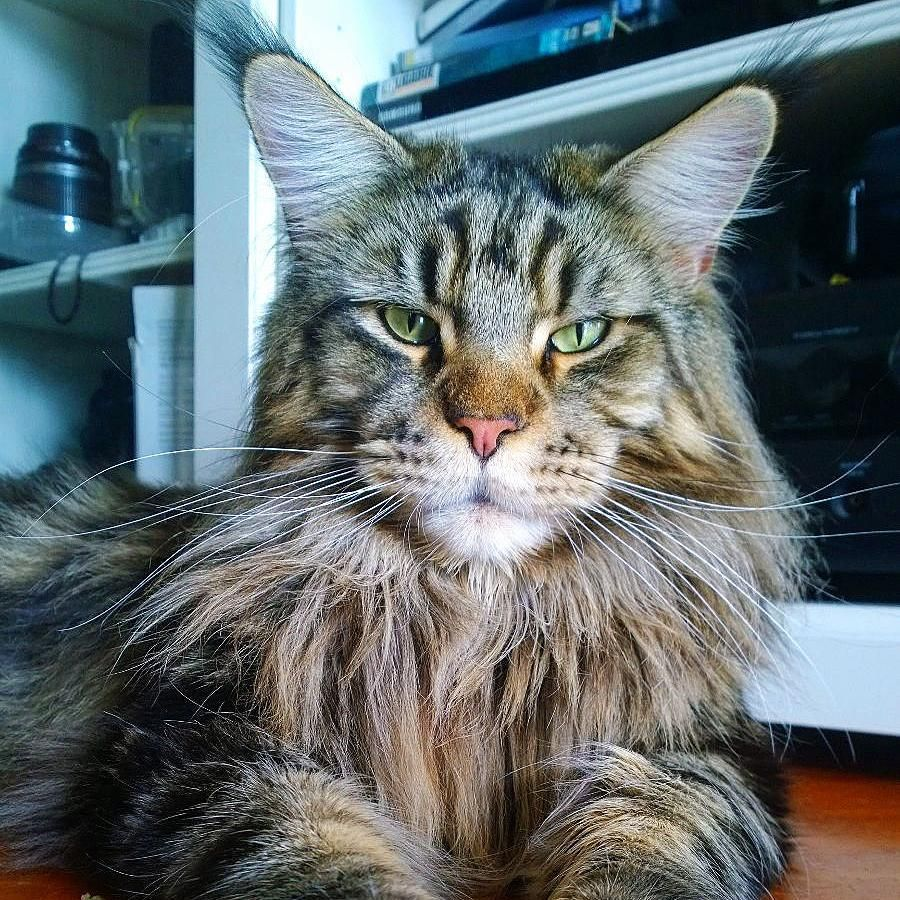 Pin On Hollycoon S Maine Coon
