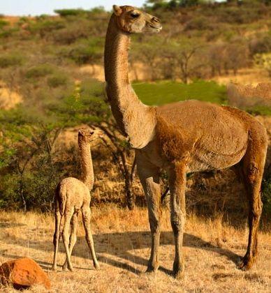 Aepycamelus | Extinct animals, Ancient animals, Prehistoric animals