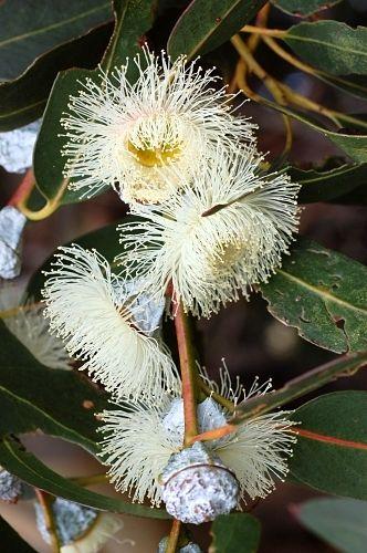 Blue Gum Eucalytus Globulus Floral State Emblem For Tasmania
