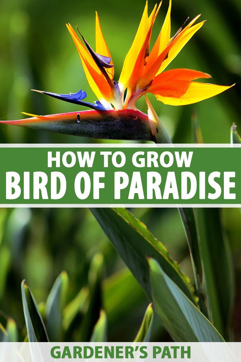 How To Grow Bird Of Paradise Plants Gardener S Path Paradise Plant Birds Of Paradise Birds Of Paradise Plant
