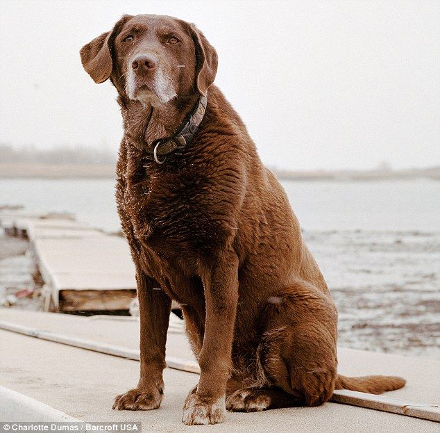 Moxie The Chocolate Labrador A 9 11 Hero Rescue Dogs Search