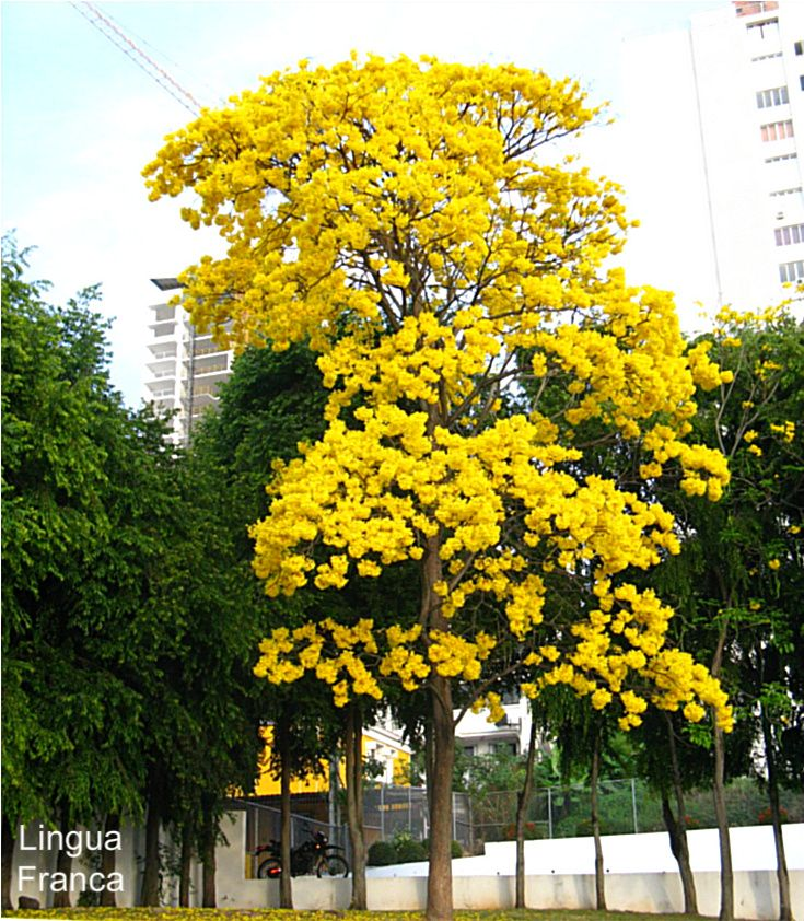 Japanese plum tree florida yellow tree florida recipies i like one of the most loved thing in my life mightylinksfo Image collections